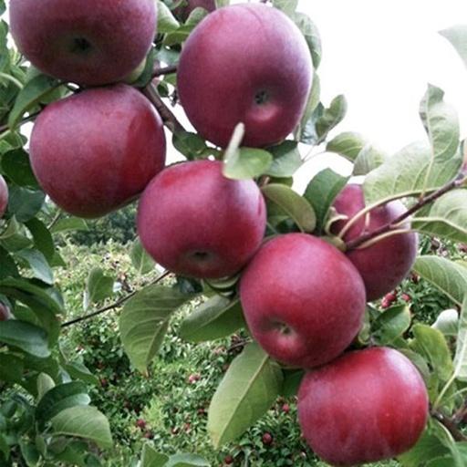 Яблоня Макинтош (Мекинтош) 6