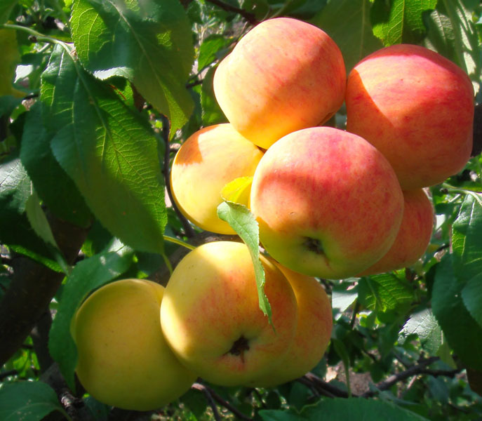 Яблоня Малинка 2
