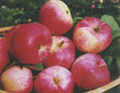 Яблоня Малинка 3