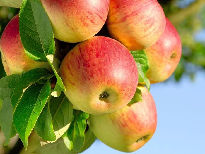 Яблоня Малинка 1