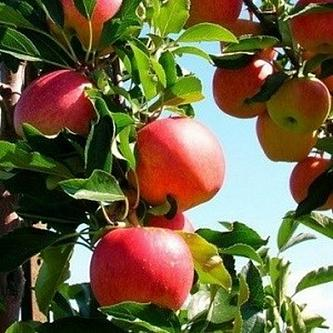 Яблоня Малиновка 1