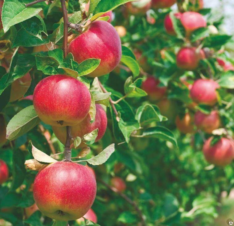 Яблоня Малиновка 3
