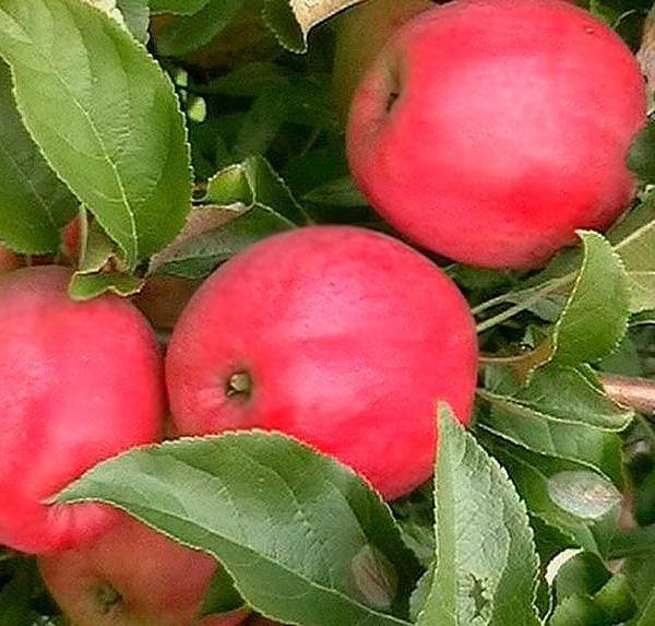 Яблоня Малиновка 4