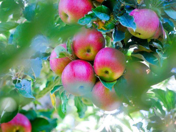 Яблоня Марат Бусурин изображение 1