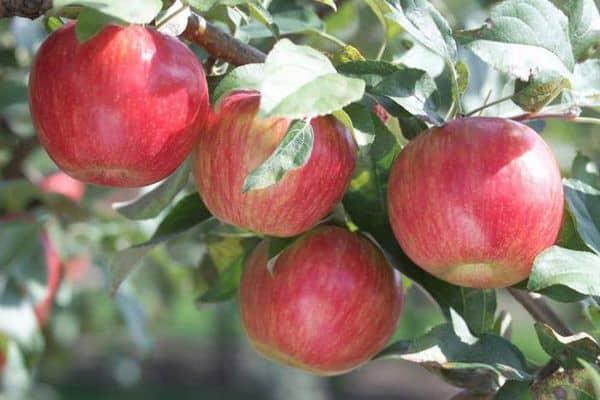 Яблоня Марат Бусурин изображение 5