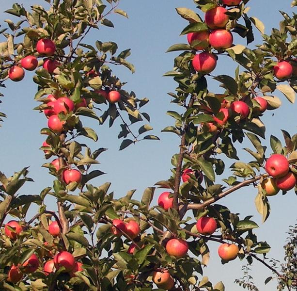 Яблоня Маяк Загорья изображение 4
