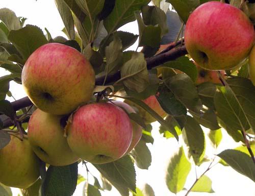 Яблоня Маяк Загорья изображение 1