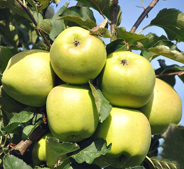 Яблоня Мутсу 2