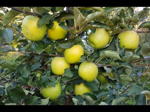 Яблоня Мутсу 3