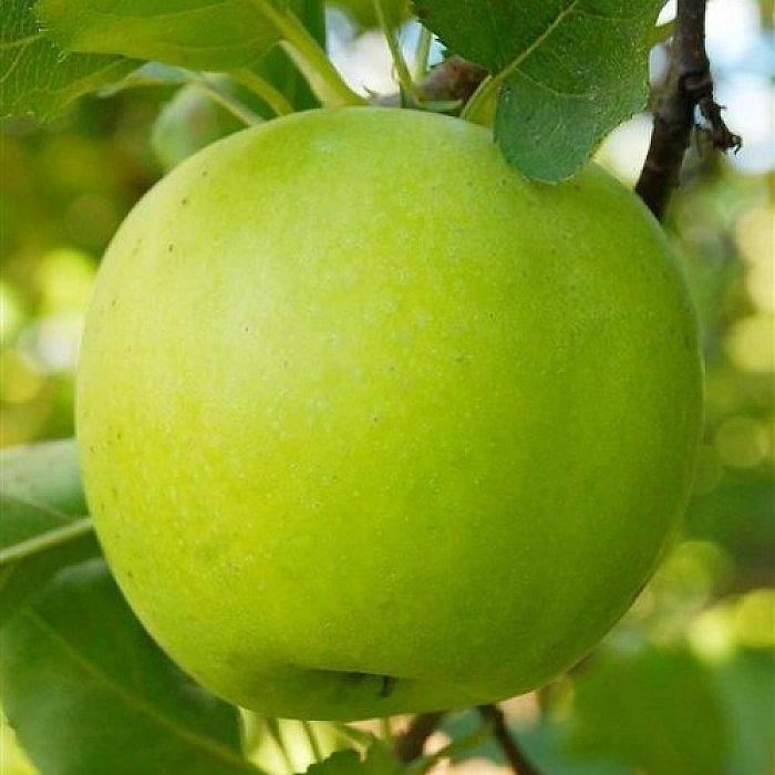 Яблоня Мутсу 1