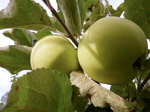 Яблоня Народное 1