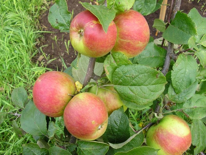 Яблоня Юный натуралист (Юннат) 2