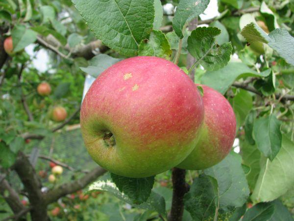Яблоня Юный натуралист (Юннат) 3