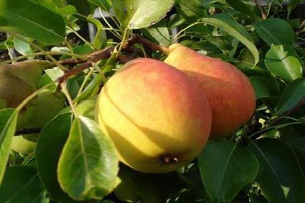Груша Осенняя сладкая изображение 2