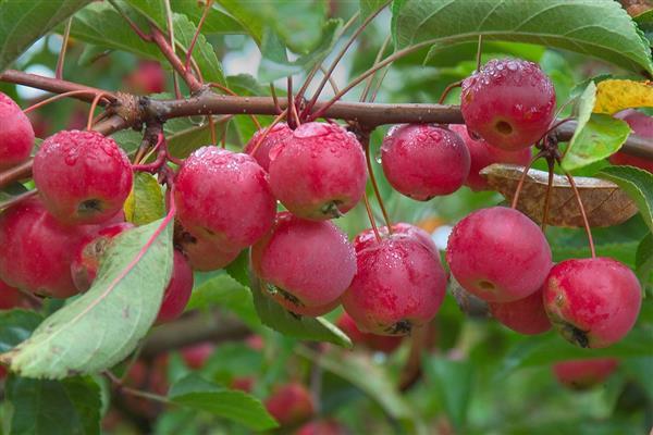 Яблоня Ранетка Пурпуровая 1
