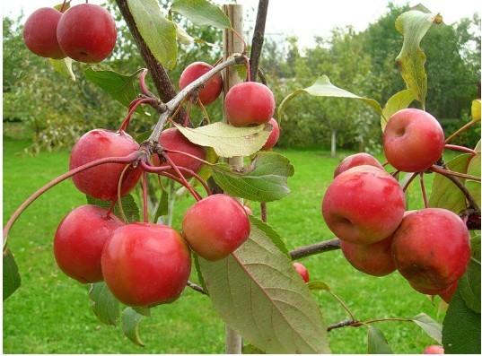 Яблоня Ранетка Пурпуровая 3