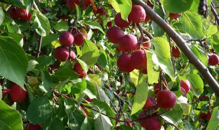 Яблоня Ранетка Пурпуровая 4