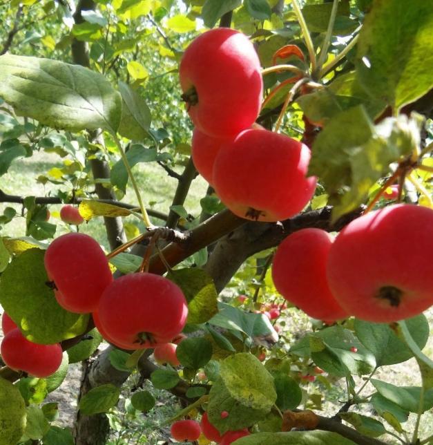 Яблоня Ранетка Пурпуровая 5