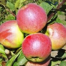Яблоня Скала 3