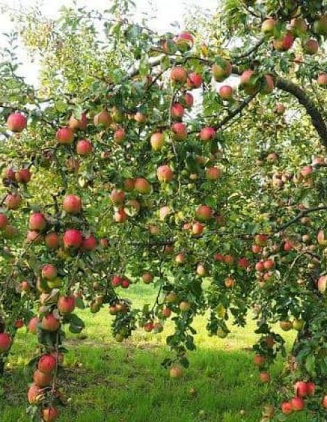 Яблоня Скала 4