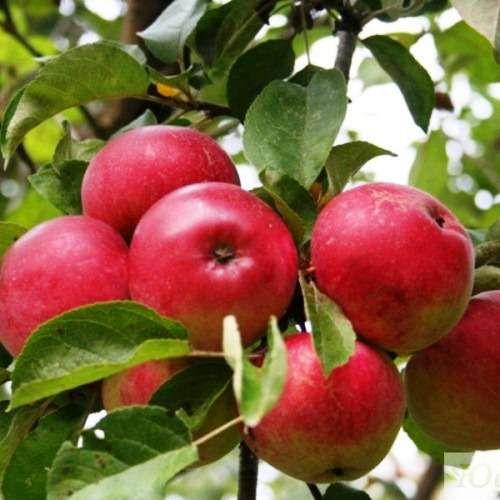 Яблоня Скала 5