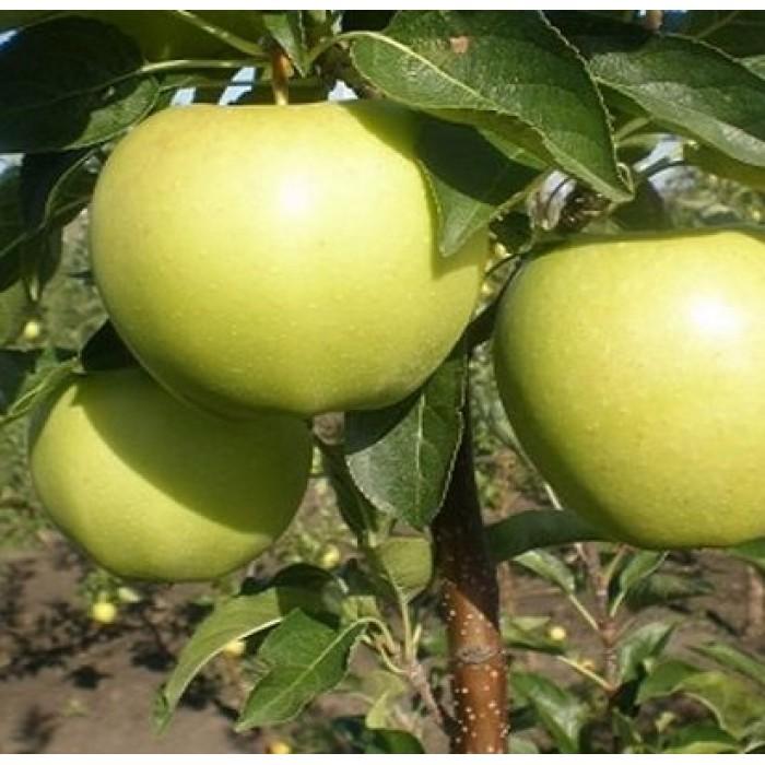 Яблоня Славянка 2