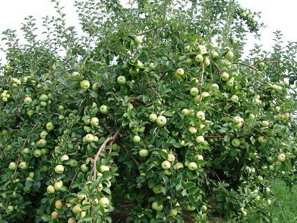 Яблоня Славянка 3