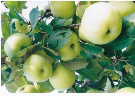 Яблоня Славянка 4