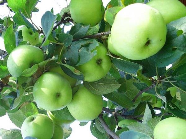 Яблоня Славянка 6