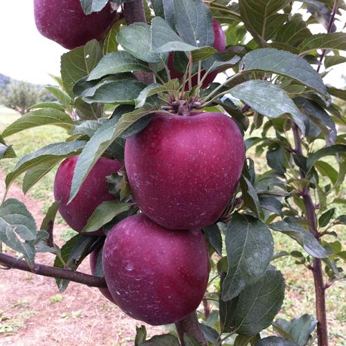 Яблоня Старкримсон 1