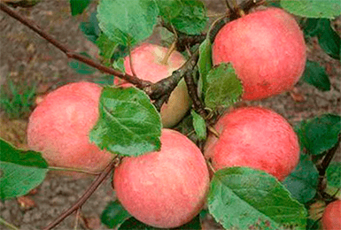 Яблоня Услада изображение 2