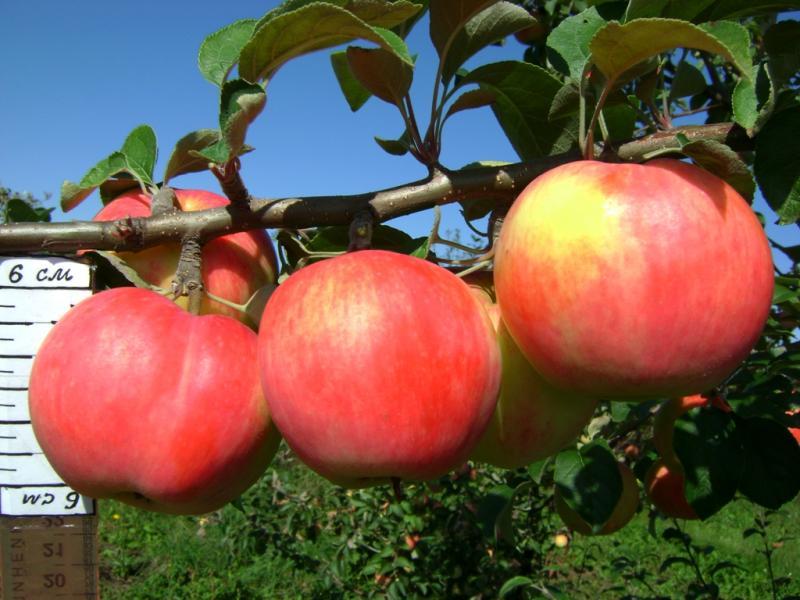 Яблоня Услада изображение 3