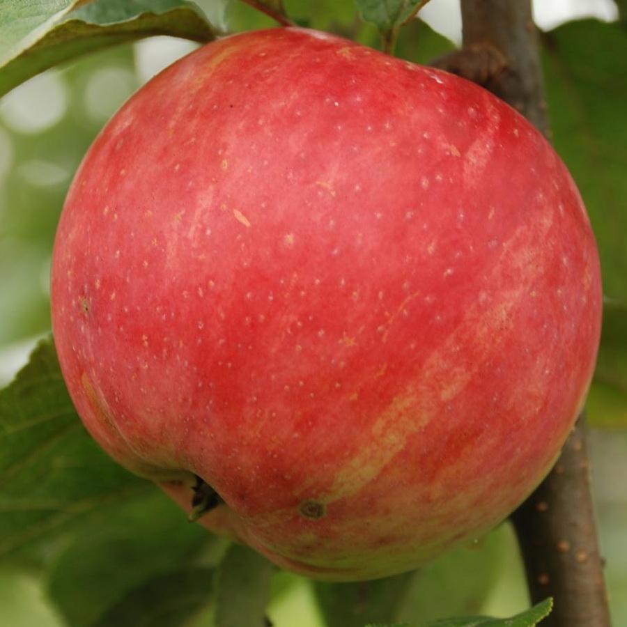 Яблоня Услада изображение 1