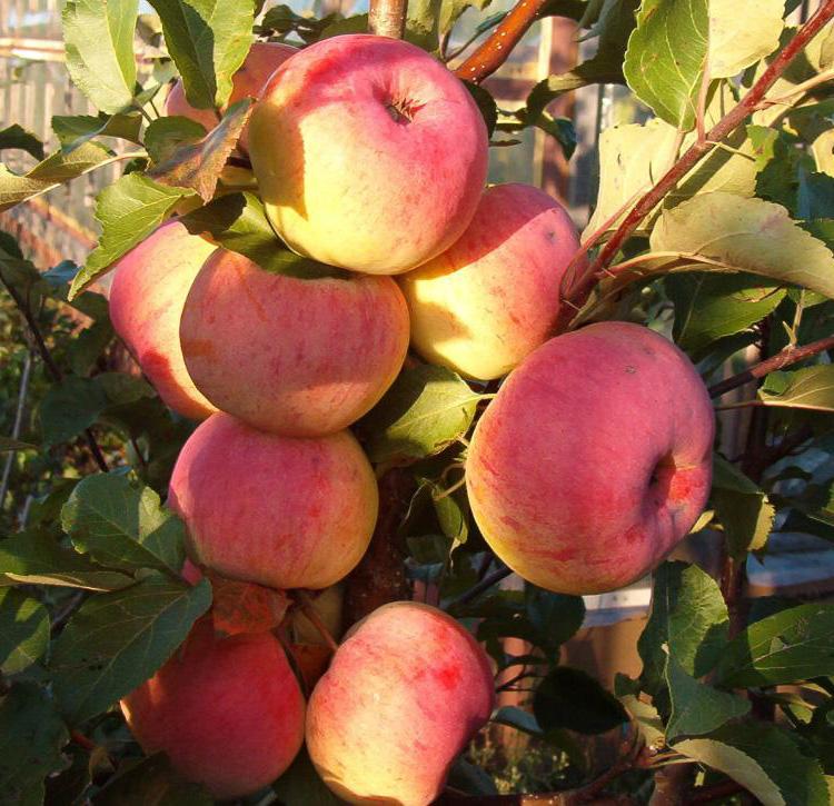 Яблоня Услада изображение 5