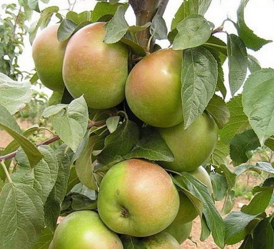 Яблоня Вербное изображение 2