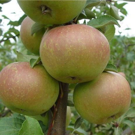 Яблоня Вербное 3