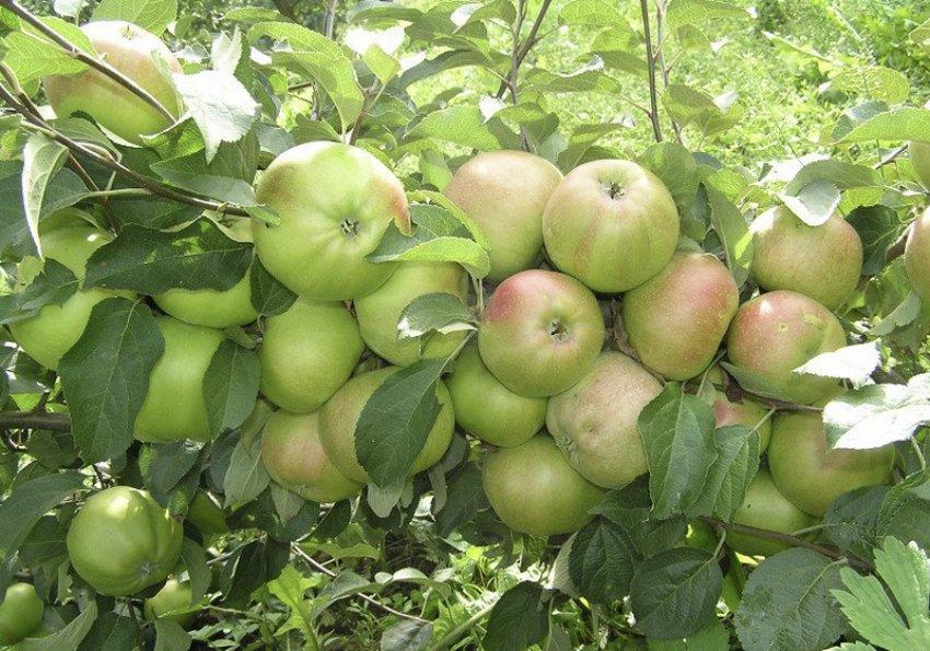Яблоня Вербное 4
