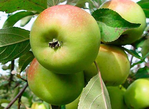 Яблоня Вербное 1
