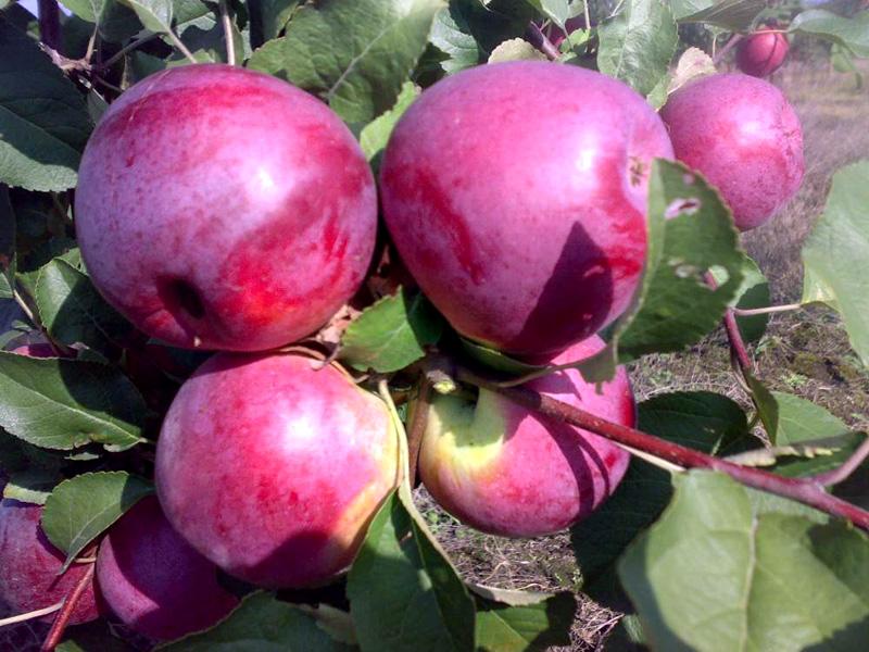 Яблоня Вишневое изображение 2