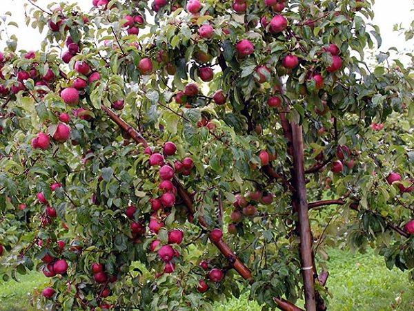 Яблоня Вишневое изображение 4