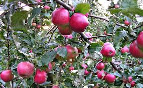 Яблоня Вишневое изображение 1