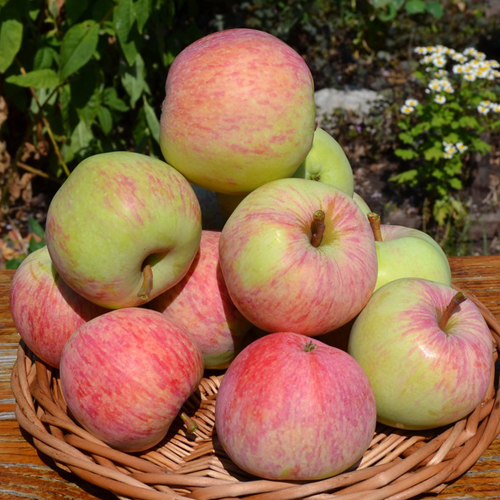 Яблоня Яблочный Спас 2