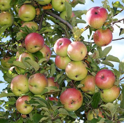 Яблоня Яблочный Спас 3