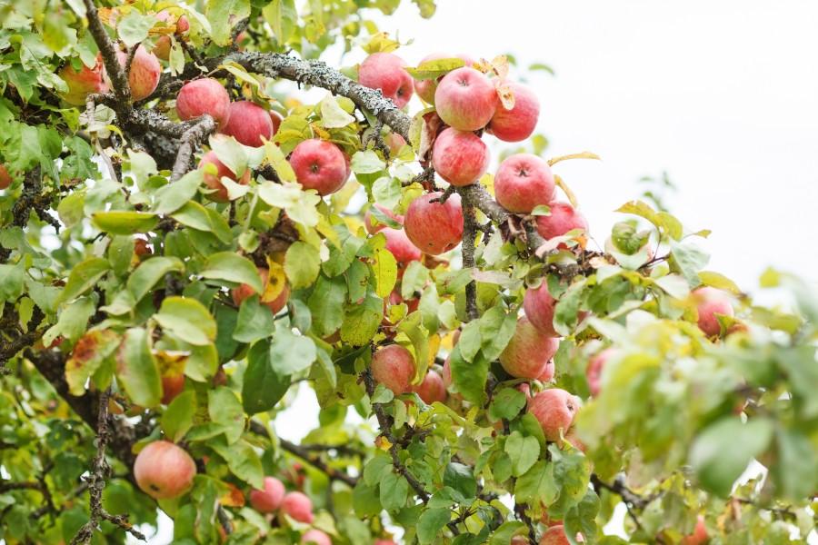 Яблоня Яблочный Спас 4