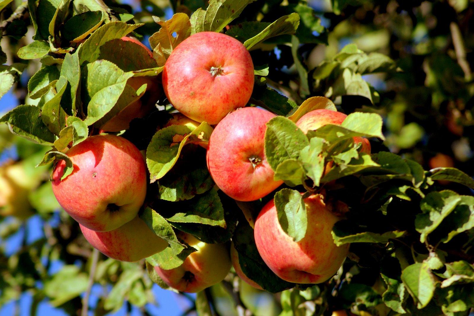Яблоня Яблочный Спас 1