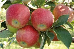 Яблоня Джонаголд 5