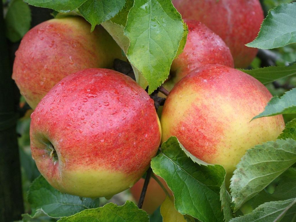 Яблоня Джонаголд 1
