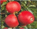 Яблоня «Элиза»