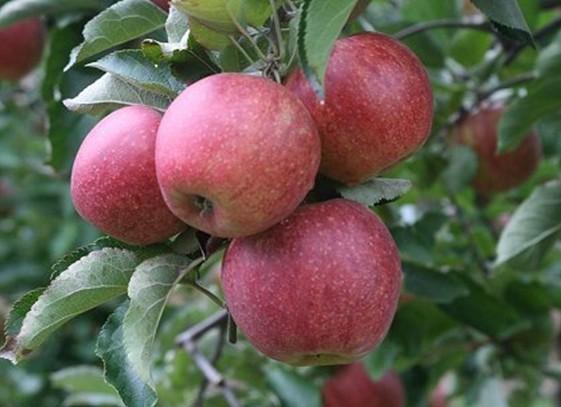 Яблоня «Элиза» 2