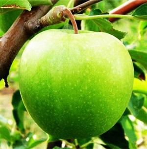 Яблоня Гренни Смит 1